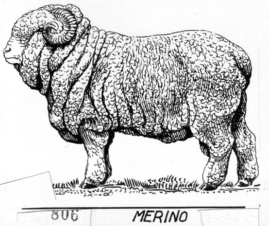 merino schaap diervriendelijke merino wol
